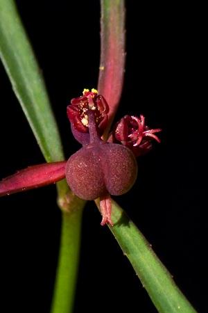 Euphorbia pinetorum