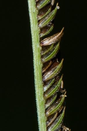 Eustachys glauca