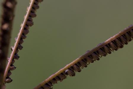 Eustachys petraea
