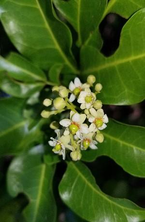 Exothea paniculata