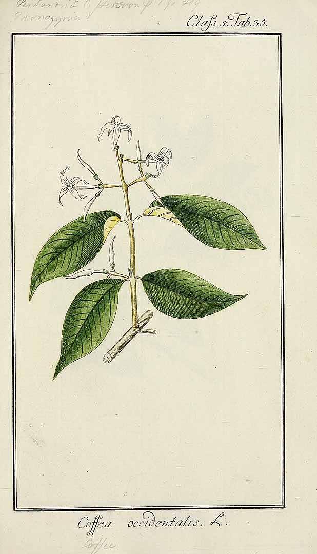 Faramea occidentalis
