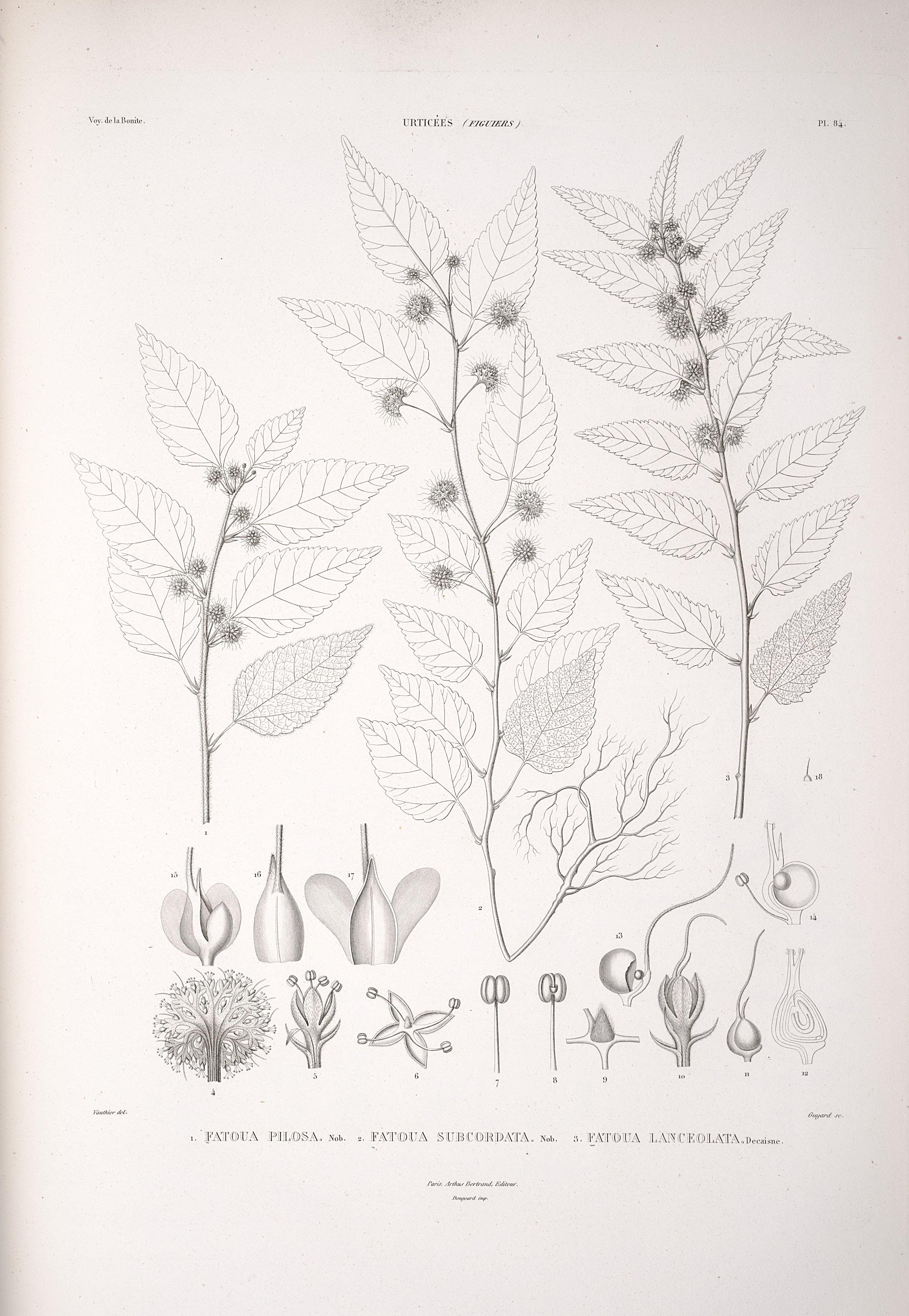 Fatoua villosa