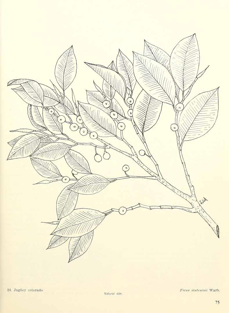 Ficus americana