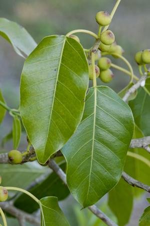 Ficus citrifolia