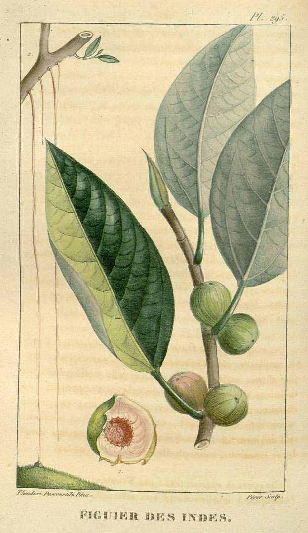 Ficus drupacea