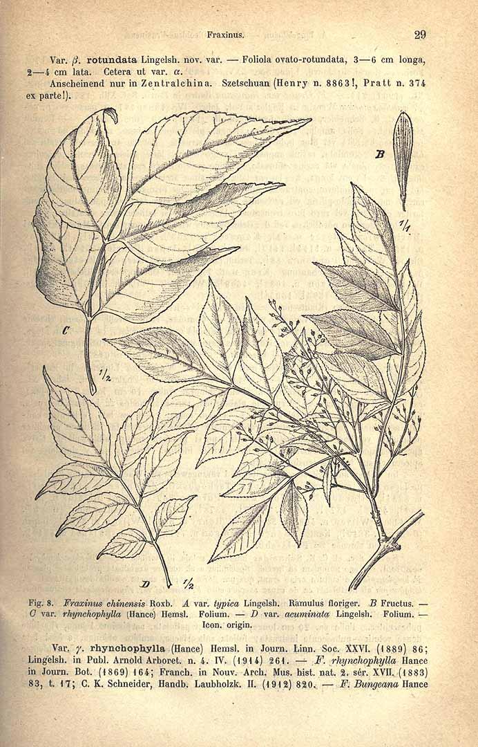 Fraxinus chinensis