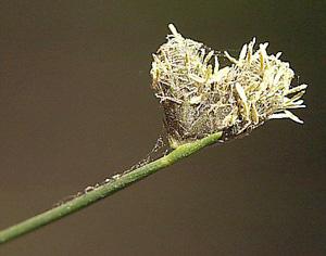 Fuirena scirpoidea