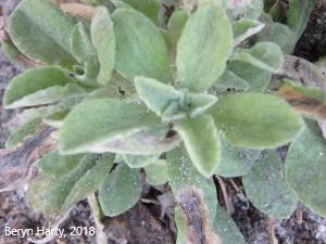 Gamochaeta antillana