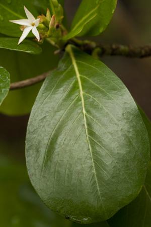 Casasia clusiifolia
