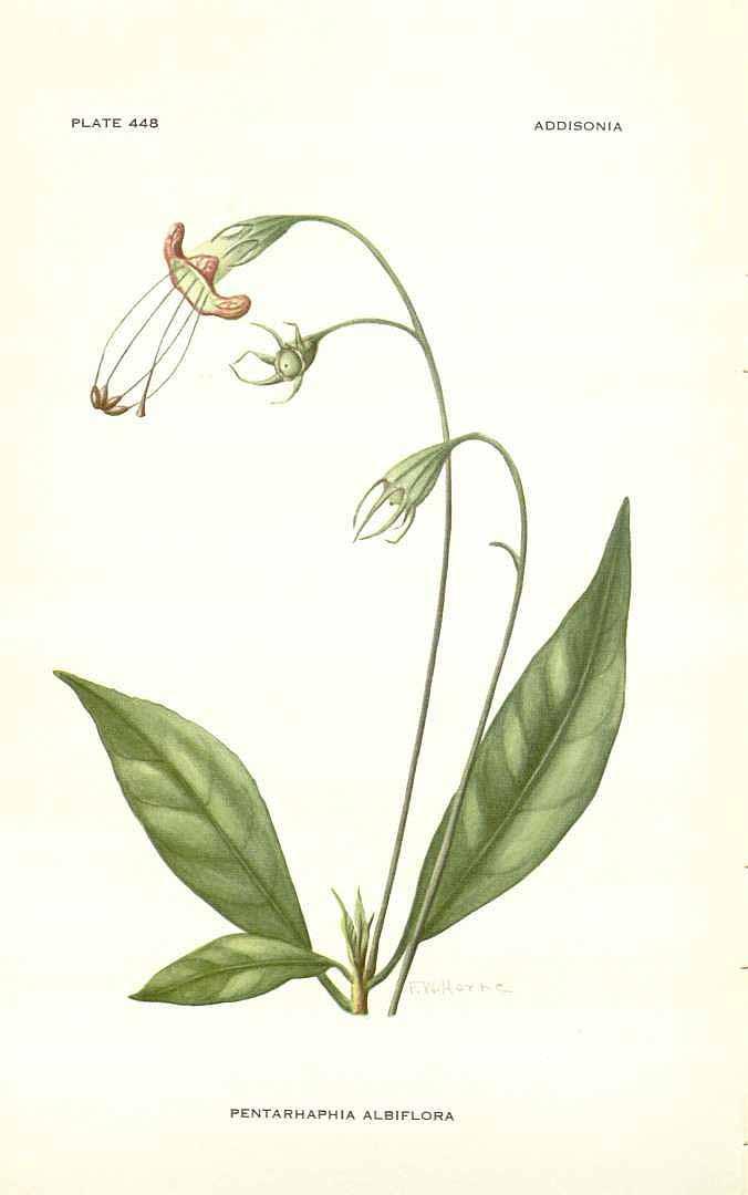 Gesneria pedunculosa