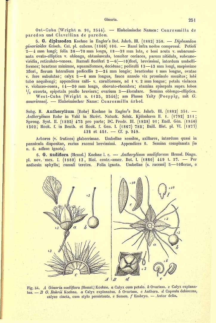 Ginoria rohrii