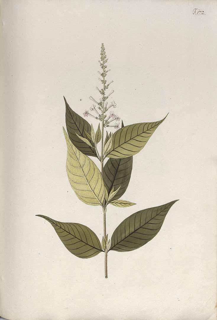 Gonzalagunia hirsuta