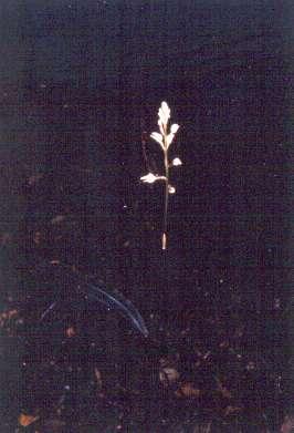 Govenia floridana
