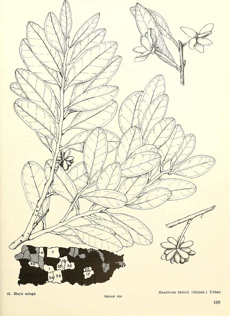 Guatteria blainii