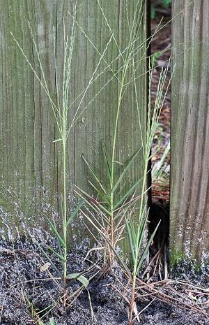 Gymnopogon brevifolius