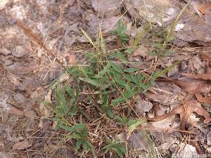 Gymnopogon chapmanianus
