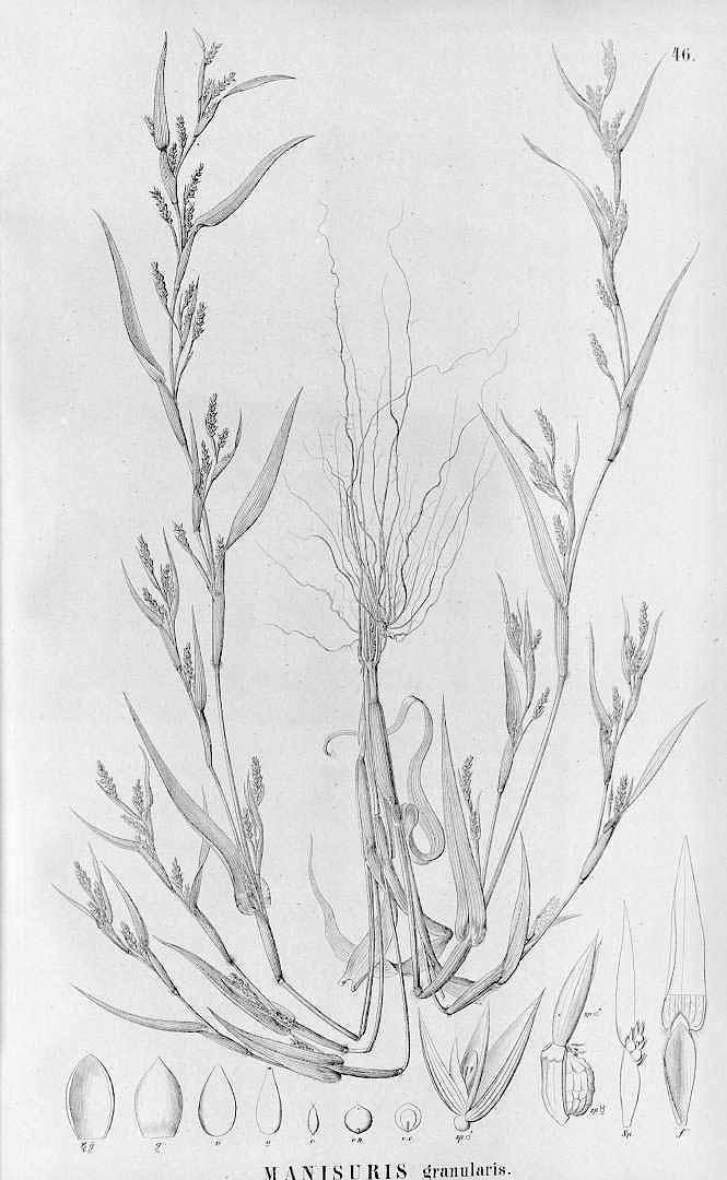 Hackelochloa granularis