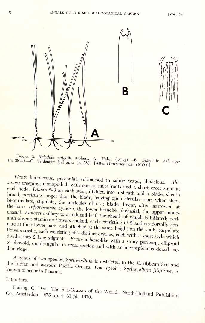 Halodule wrightii
