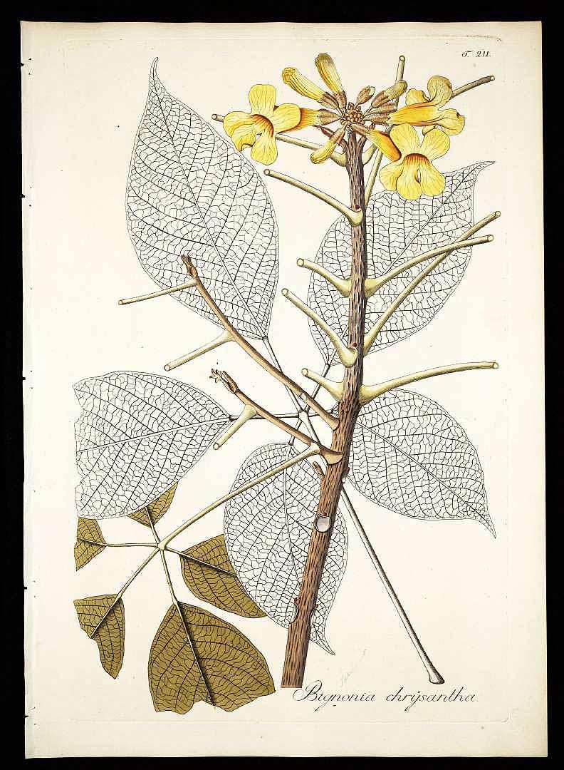 Handroanthus chrysanthus