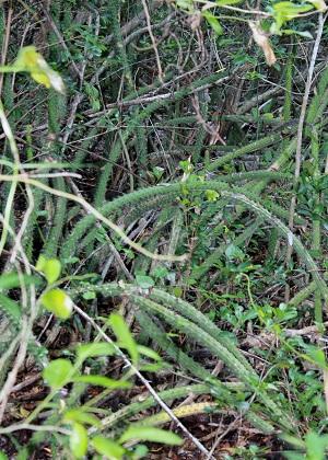 Harrisia fragrans