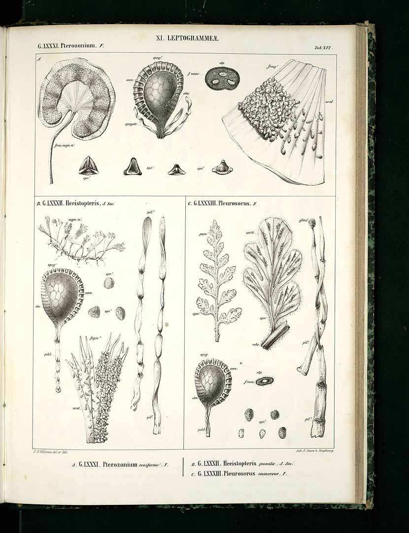 Hecistopteris pumila