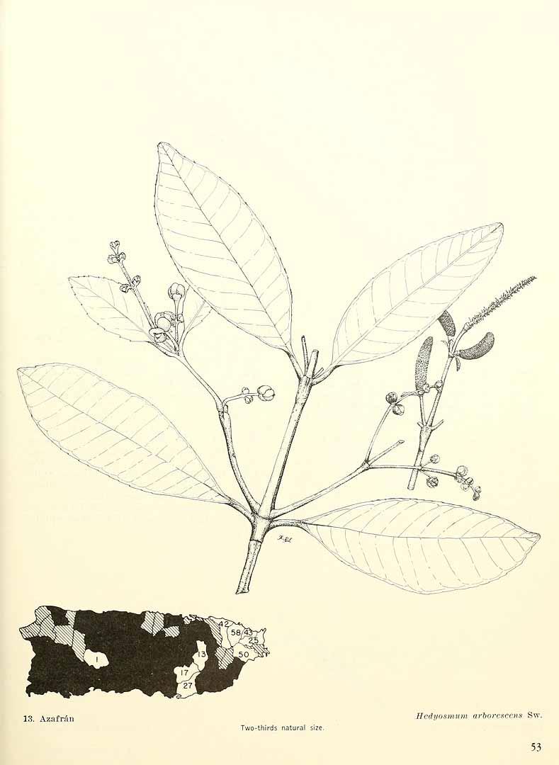 Hedyosmum arborescens