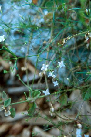 Stenaria nigricans