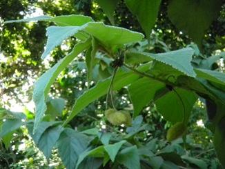 Helicteres jamaicensis