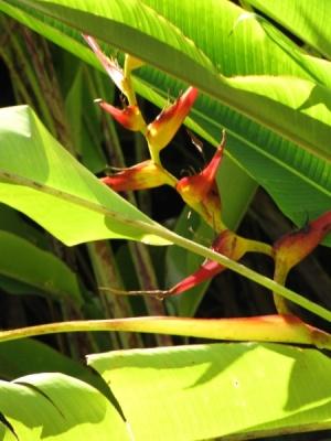 Heliconia latispatha