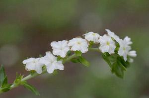 Heliotropium polyphyllum