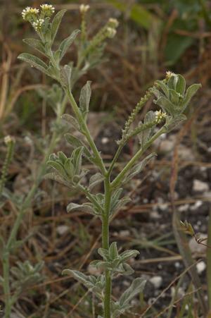 Euploca procumbens