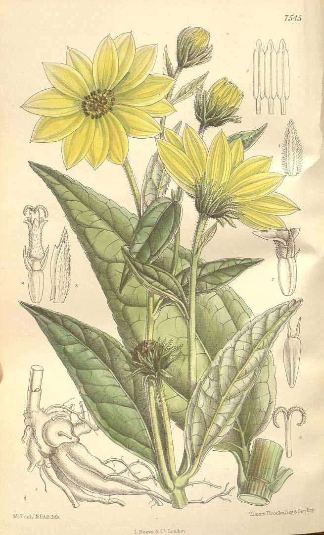 Helianthus tuberosus
