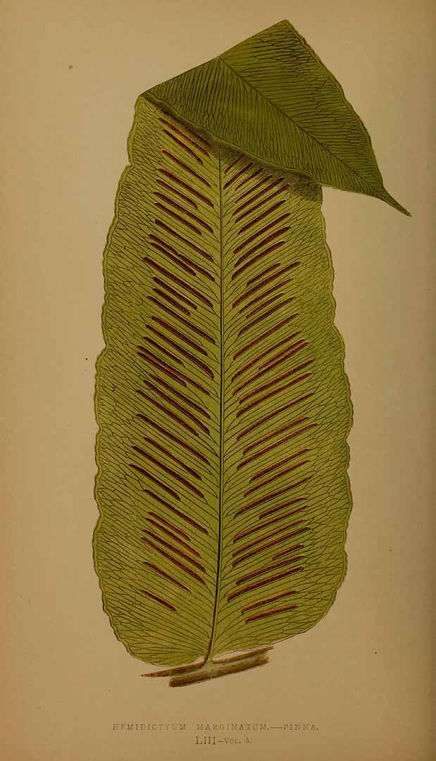 Hemidictyum marginatum