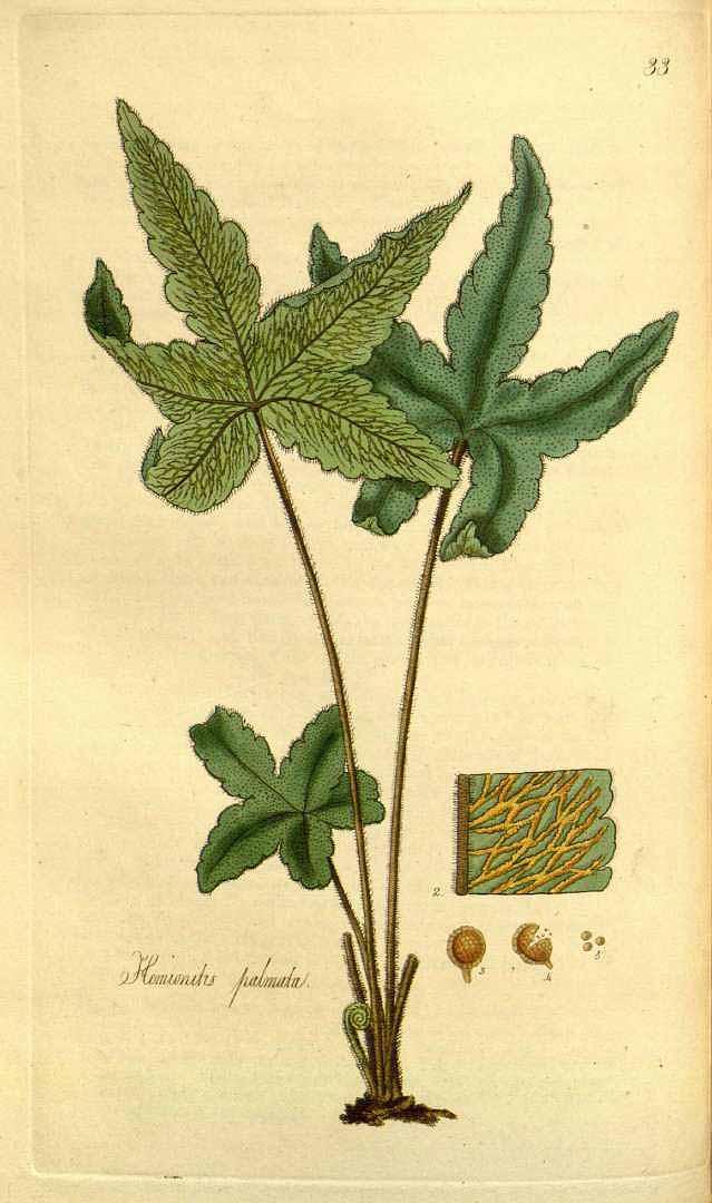 Hemionitis palmata