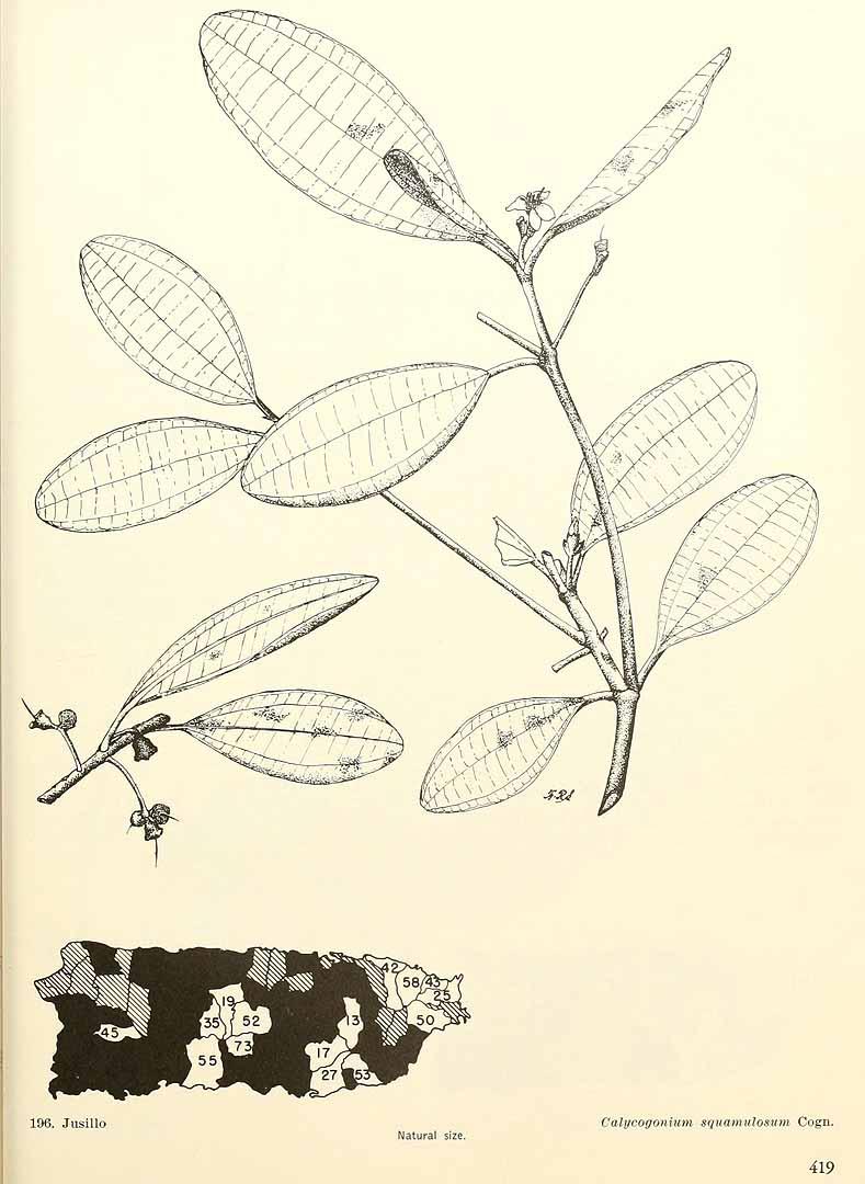 Henriettea squamulosa