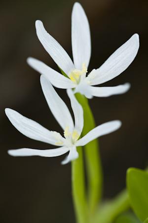 Heteranthera limosa