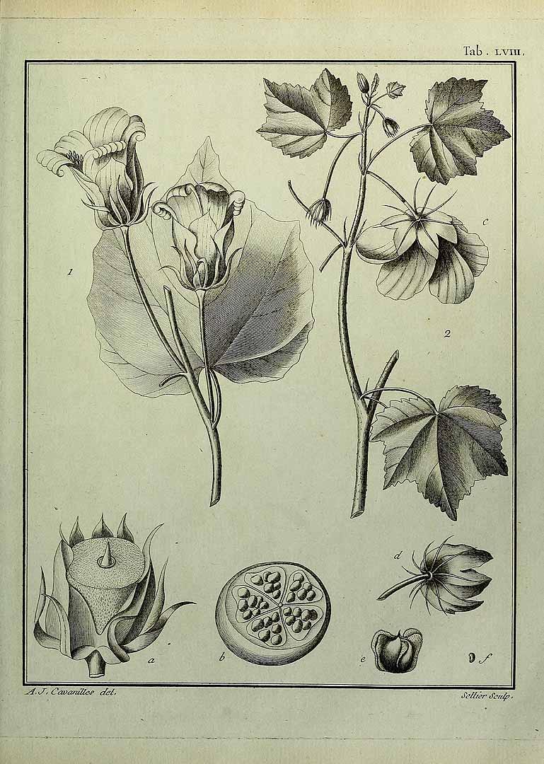 Hibiscus clypeatus