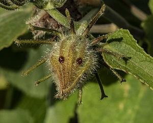 Hibiscus furcellatus