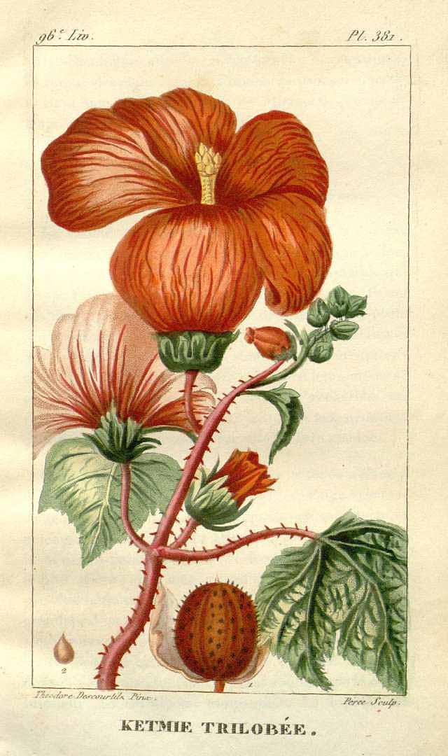 Hibiscus trilobus