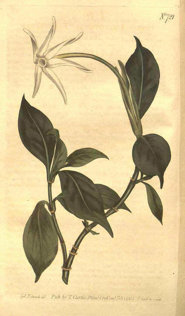 Hillia parasitica