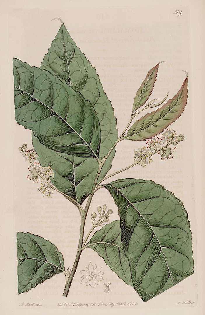 Homalium racemosum