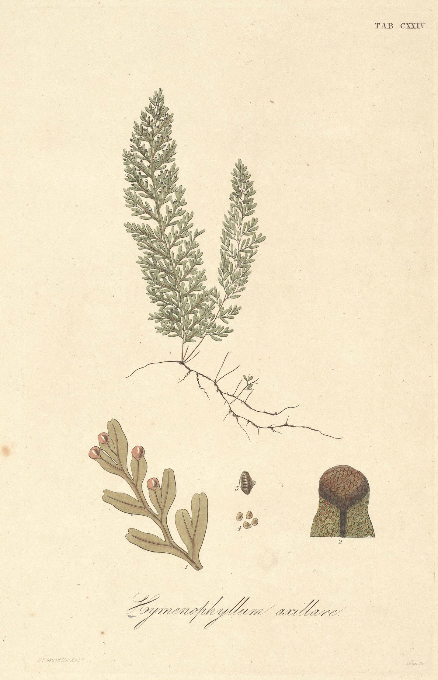 Hymenophyllum axillare