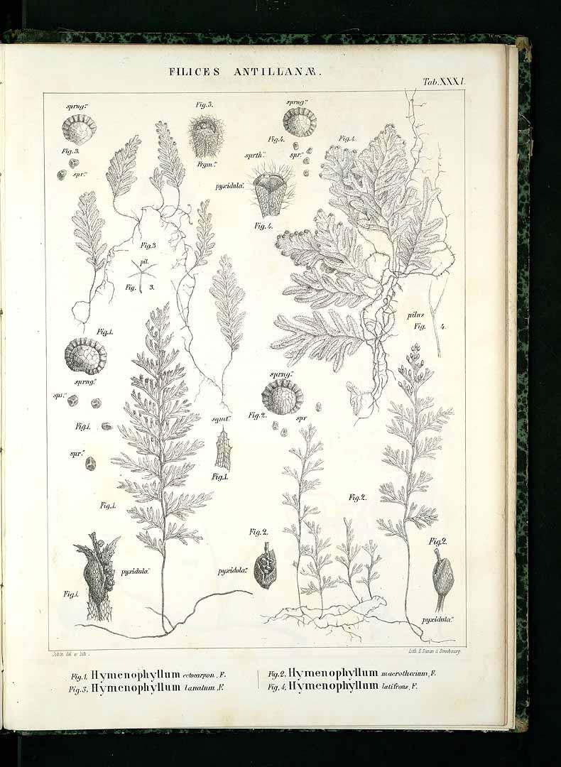 Hymenophyllum lanatum