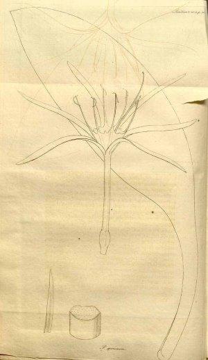 Hymenocallis speciosa