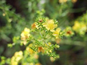 Hypericum brachyphyllum
