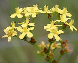 Hypericum cistifolium