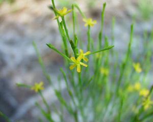 Hypericum gentianoides