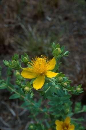 Hypericum myrtifolium