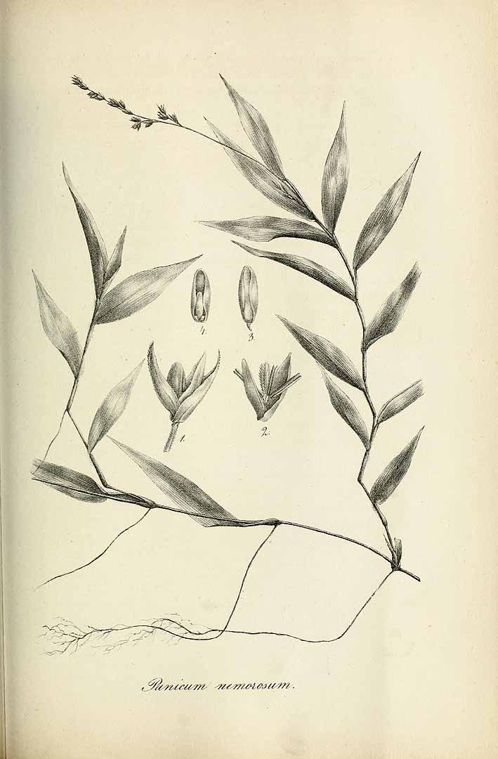 Ichnanthus nemorosus