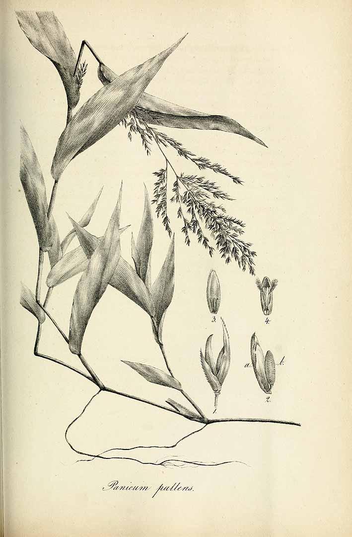 Ichnanthus pallens